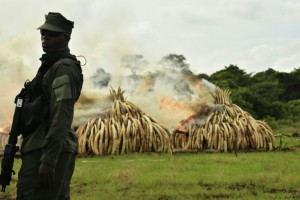 Kenya Burns Ivory Tusks in Large bonfire to save elephants